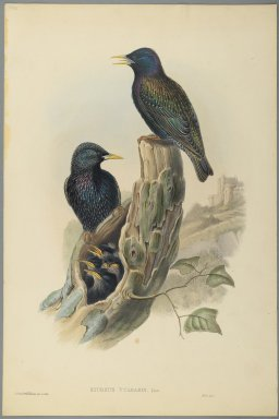 John Gould (British, 1804-1881). <em>Starling: Sturnus Vulgaris, (Linn)</em>. Lithograph on wove paper, Sheet: 20 3/4 x 13 3/4 in. (52.7 x 34.9 cm). Brooklyn Museum, Gift of the Estate of Emily Winthrop Miles, 64.98.96 (Photo: Brooklyn Museum, 64.98.96_PS2.jpg)