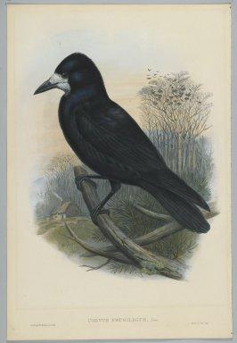 John Gould (British, 1804-1881). <em>Corvus Frugilegus - Rook</em>. Lithograph on wove paper, Sheet: 21 1/4 x 14 1/2 in. (54 x 36.8 cm). Brooklyn Museum, Gift of the Estate of Emily Winthrop Miles, 64.98.97 (Photo: Brooklyn Museum, 64.98.97_PS2.jpg)