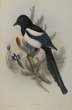 John Gould (British, 1804-1881). <em>Pica Caudata - Magpie</em>. Lithograph on wove paper, Sheet: 21 1/4 x 14 1/2 in. (54 x 36.8 cm). Brooklyn Museum, Gift of the Estate of Emily Winthrop Miles, 64.98.98 (Photo: Brooklyn Museum, 64.98.98_PS4.jpg)