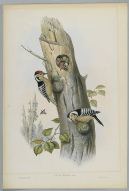 John Gould (British, 1804-1881). <em>Picus Minor - Lesser Spotted Woodpecker</em>. Lithograph on wove paper, Sheet: 21 1/4 x 14 1/2 in. (54 x 36.8 cm). Brooklyn Museum, Gift of the Estate of Emily Winthrop Miles, 64.98.99 (Photo: Brooklyn Museum, 64.98.99_PS2.jpg)