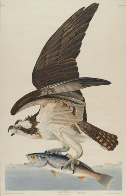 John James  Audubon (American, born Haiti, 1785-1851). <em>Fish Hawk</em>, 1830. Aquatint, Sheet: 37 3/4 x 24 in. (95.9 x 61 cm). Brooklyn Museum, Gift of the Estate of Emily Winthrop Miles, 64.98.9 (Photo: Brooklyn Museum, 64.98.9_PS2.jpg)