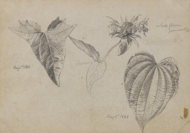 William Trost Richards (American, 1833-1905). <em>Plant Study</em>, August 1860. Graphite on beige, moderately thick, slightly textured wove paper, Sheet: 5 5/8 x 8 1/16 in. (14.3 x 20.5 cm). Brooklyn Museum, Gift of Edith Ballinger Price, 72.32.12 (Photo: Brooklyn Museum, 72.32.12_PS4.jpg)