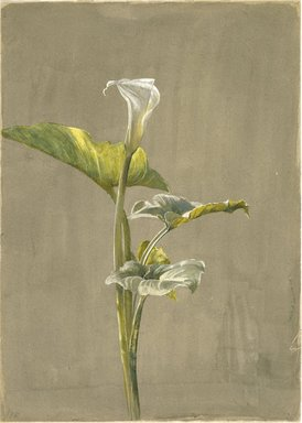 Fidelia Bridges (American, 1834-1923). <em>Calla Lily</em>, 1875. Watercolor on paper, 14 x 10 in. (35.6 x 24.5 cm.). Brooklyn Museum, Museum Collection Fund, 81.213 (Photo: Brooklyn Museum, 81.213_SL1.jpg)