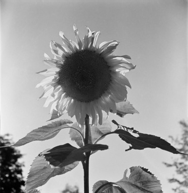 Consuelo Kanaga (American, 1894-1978). <em>Sunflower</em>. Cellulose acetate negative, Negative: 2 1/4 x 2 1/4 in. (5.7 x 5.7 cm). Brooklyn Museum, Gift of Wallace B. Putnam from the Estate of Consuelo Kanaga, 82.65.1746 (Photo: , 82.65.1746_bw_SL3.jpg)