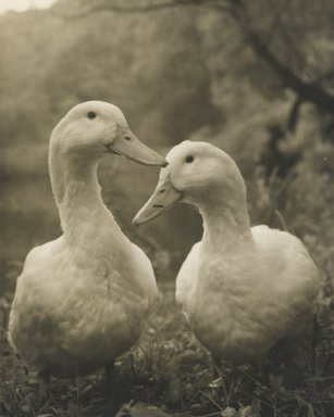 Consuelo Kanaga (American, 1894-1978). <em>[Untitled] (Two Ducks)</em>. Gelatin silver photograph, Image: 4 3/4 x 3 7/8 in. (12.1 x 9.8 cm). Brooklyn Museum, Gift of Wallace B. Putnam from the Estate of Consuelo Kanaga, 82.65.21 (Photo: Brooklyn Museum, 82.65.21_PS2.jpg)