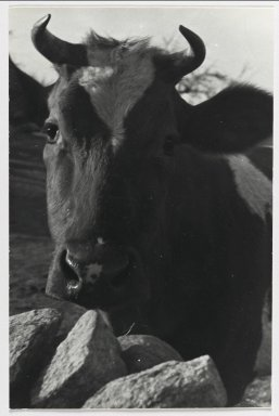 Consuelo Kanaga (American, 1894-1978). <em>[Untitled] (Cow)</em>. Gelatin silver photograph, 7 1/2 x 5 in. (19.1 x 12.7 cm). Brooklyn Museum, Gift of Wallace B. Putnam from the Estate of Consuelo Kanaga, 82.65.220 (Photo: Brooklyn Museum, 82.65.220_PS2.jpg)