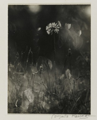 Consuelo Kanaga (American, 1894-1978). <em>[Untitled] (Weeds)</em>. Gelatin silver photograph, 3 7/8 x 3 in. (9.8 x 7.6 cm). Brooklyn Museum, Gift of Wallace B. Putnam from the Estate of Consuelo Kanaga, 82.65.2234 (Photo: Brooklyn Museum, 82.65.2234_PS2.jpg)