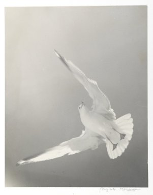 Consuelo Kanaga (American, 1894-1978). <em>[Untitled] (Seagull)</em>. Toned gelatin silver photograph, 13 1/4 x 10 3/8 in. (33.7 x 26.4 cm). Brooklyn Museum, Gift of Wallace B. Putnam from the Estate of Consuelo Kanaga, 82.65.2254 (Photo: Brooklyn Museum, 82.65.2254_PS1.jpg)