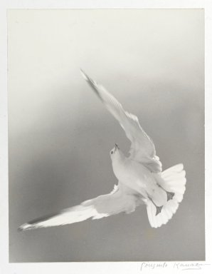 Consuelo Kanaga (American, 1894-1978). <em>[Untitled] (Seagull)</em>. Toned gelatin silver photograph, 13 5/8 x 10 1/2 in. (34.6 x 26.7 cm). Brooklyn Museum, Gift of Wallace B. Putnam from the Estate of Consuelo Kanaga, 82.65.2256 (Photo: Brooklyn Museum, 82.65.2256_PS1.jpg)