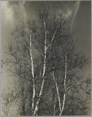 Consuelo Kanaga (American, 1894-1978). <em>[Untitled] (Birch Trees)</em>. Gelatin silver photograph, 5 x 4 in. (12.7 x 10.2 cm). Brooklyn Museum, Gift of Wallace B. Putnam from the Estate of Consuelo Kanaga, 82.65.249 (Photo: Brooklyn Museum, 82.65.249_PS2.jpg)