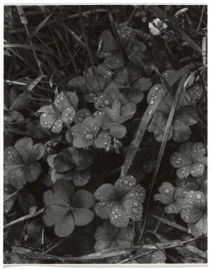 Consuelo Kanaga (American, 1894-1978). <em>[Untitled] (Dew on Grass)</em>. Gelatin silver photograph, 4 3/4 x 3 3/4 in. (12.1 x 9.5 cm). Brooklyn Museum, Gift of Wallace B. Putnam from the Estate of Consuelo Kanaga, 82.65.254 (Photo: Brooklyn Museum, 82.65.254_PS2.jpg)