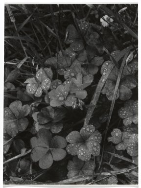 Consuelo Kanaga (American, 1894-1978). <em>[Untitled] (Dew on Clover)</em>. Gelatin silver photograph, 4 3/4 x 3 1/2 in. (12.1 x 8.9 cm). Brooklyn Museum, Gift of Wallace B. Putnam from the Estate of Consuelo Kanaga, 82.65.268 (Photo: Brooklyn Museum, 82.65.268_PS2.jpg)