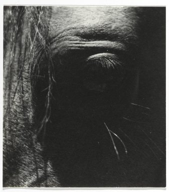 Consuelo Kanaga (American, 1894-1978). <em>[Untitled] (Horse's Eye)</em>. Gelatin silver photograph, 4 1/8 x 3 3/4 in. (10.5 x 9.5 cm). Brooklyn Museum, Gift of Wallace B. Putnam from the Estate of Consuelo Kanaga, 82.65.28 (Photo: Brooklyn Museum, 82.65.28_PS2.jpg)
