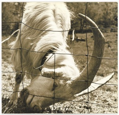 Consuelo Kanaga (American, 1894-1978). <em>[Untitled] (Goat by Fence)</em>. Gelatin silver photograph, 7 3/4 x 8 1/8 in. (19.7 x 20.6 cm). Brooklyn Museum, Gift of Wallace B. Putnam from the Estate of Consuelo Kanaga, 82.65.323 (Photo: Brooklyn Museum, 82.65.323_PS2.jpg)