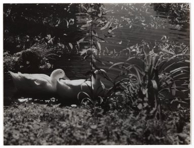 Consuelo Kanaga (American, 1894-1978). <em>[Untitled] (Ducks in Pond)</em>. Gelatin silver photograph, 6 5/8 x 8 7/8 in. (16.8 x 22.5 cm). Brooklyn Museum, Gift of Wallace B. Putnam from the Estate of Consuelo Kanaga, 82.65.337 (Photo: Brooklyn Museum, 82.65.337_PS2.jpg)