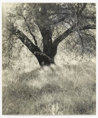 Consuelo Kanaga (American, 1894-1978). <em>[Untitled] (Tree in Meadow)</em>. Gelatin silver photograph, 8 1/4 x 7 in. (21 x 17.8 cm). Brooklyn Museum, Gift of Wallace B. Putnam from the Estate of Consuelo Kanaga, 82.65.339 (Photo: Brooklyn Museum, 82.65.339_PS2.jpg)