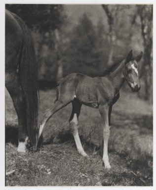 Consuelo Kanaga (American, 1894-1978). <em>[Untitled] (Foal)</em>, 1950s. Toned gelatin silver photograph, image: 5 1/4 x 4 1/4 in. (13.3 x 10.8 cm). Brooklyn Museum, Gift of Wallace B. Putnam from the Estate of Consuelo Kanaga, 82.65.33 (Photo: Brooklyn Museum, 82.65.33_PS2.jpg)