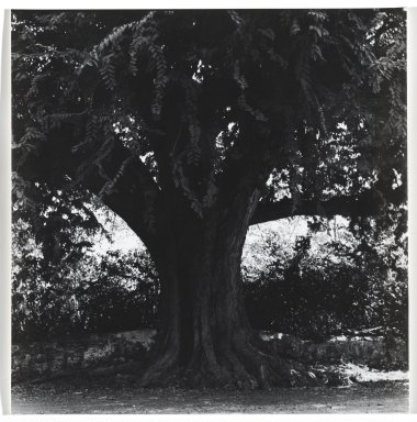 Consuelo Kanaga (American, 1894-1978). <em>[Untitled] (Tree)</em>. Gelatin silver photograph, 7 3/4 x 7 1/2 in. (19.7 x 19.1 cm). Brooklyn Museum, Gift of Wallace B. Putnam from the Estate of Consuelo Kanaga, 82.65.341 (Photo: Brooklyn Museum, 82.65.341_PS2.jpg)