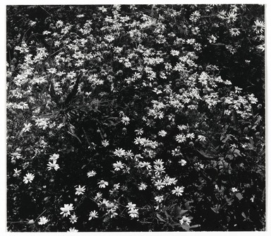 Consuelo Kanaga (American, 1894-1978). <em>[Untitled] (Flowers)</em>. Gelatin silver photograph, 7 1/4 x 8 1/2 in. (18.4 x 21.6 cm). Brooklyn Museum, Gift of Wallace B. Putnam from the Estate of Consuelo Kanaga, 82.65.348 (Photo: Brooklyn Museum, 82.65.348_PS2_edited.jpg)