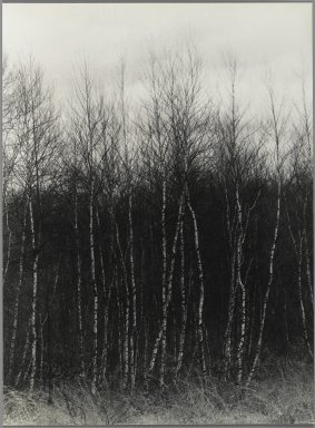Consuelo Kanaga (American, 1894-1978). <em>[Untitled] (Birch Trees)</em>. Gelatin silver photograph, 8 7/8 x 6 1/2 in. (22.5 x 16.5 cm). Brooklyn Museum, Gift of Wallace B. Putnam from the Estate of Consuelo Kanaga, 82.65.356 (Photo: Brooklyn Museum, 82.65.356_PS2.jpg)