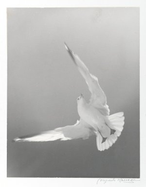 Consuelo Kanaga (American, 1894-1978). <em>[Untitled] (Seagull)</em>. Gelatin silver photograph, 13 5/8 x 10 5/8 in. (34.6 x 27 cm). Brooklyn Museum, Gift of Wallace B. Putnam from the Estate of Consuelo Kanaga, 82.65.375 (Photo: Brooklyn Museum, 82.65.375_PS1.jpg)