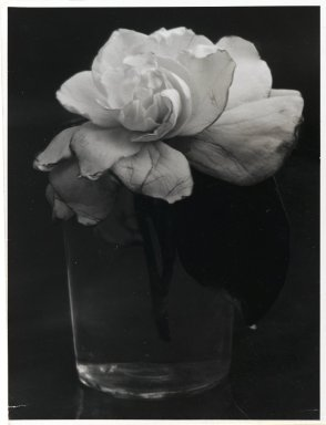 Consuelo Kanaga (American, 1894-1978). <em>Camelia in Water</em>, 1927-1928. Gelatin silver photograph, 3 1/8 x 3 15/16 in. (7.9 x 10 cm). Brooklyn Museum, Gift of Wallace B. Putnam from the Estate of Consuelo Kanaga, 82.65.437 (Photo: Brooklyn Museum, 82.65.437_PS2.jpg)