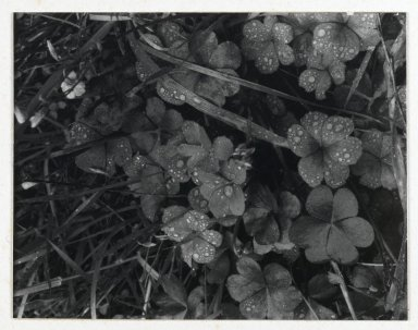 Consuelo Kanaga (American, 1894-1978). <em>[Untitled] (Dew on Grass)</em>. Gelatin silver photograph, Image: 4 3/4 x 3 3/4 in. (12.1 x 9.5 cm). Brooklyn Museum, Gift of Wallace B. Putnam from the Estate of Consuelo Kanaga, 82.65.43 (Photo: Brooklyn Museum, 82.65.43_PS2.jpg)