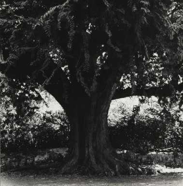 Consuelo Kanaga (American, 1894-1978). <em>[Untitled] (Tree)</em>. Gelatin silver photograph, 7 3/4 x 7 1/2 in. (19.7 x 19.1 cm). Brooklyn Museum, Gift of Wallace B. Putnam from the Estate of Consuelo Kanaga, 82.65.449 (Photo: Brooklyn Museum, 82.65.449_PS2.jpg)