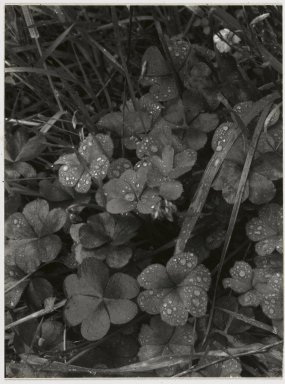 Consuelo Kanaga (American, 1894-1978). <em>[Untitled] (Dew on Clover)</em>. Gelatin silver photograph Brooklyn Museum, Gift of Wallace B. Putnam from the Estate of Consuelo Kanaga, 82.65.44 (Photo: Brooklyn Museum, 82.65.44_PS2.jpg)
