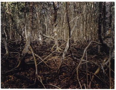 John Pfahl (American, born 1939). <em>Mangrove Swamp Lightning, Matheson Hammock, Florida</em>, 1977; printed 1981. Dye-transfer print, Sheet: 8 1/2 x 11 in. (21.6 x 27.9 cm). Brooklyn Museum, Gift of Ed Perlberg, 83.218.12. © artist or artist's estate (Photo: Brooklyn Museum, 83.218.12_PS6.jpg)