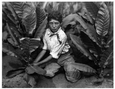 Lewis Wickes Hine (American, 1874-1940). <em>Child Labor in Tobacco Field, Connecticut</em>, 1916. Gelatin silver photograph, image: 10 1/2 x 13 1/2 in. (26.7 x 34.3 cm). Brooklyn Museum, Gift of Walter and Naomi Rosenblum, 84.237.2 (Photo: Brooklyn Museum, 84.237.2_bw.jpg)