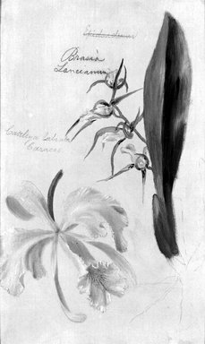 William Jacob Hays (American, 1830-1875). <em>Two Orchids, Brassia Lanceana, Cattleya Labiata</em>, 1869. Oil and graphite on canvas, 12 3/8 x 7 5/8 in. (31.4 x 19.4 cm). Brooklyn Museum, Gift of Mr. and Mrs. Leonard L. Milberg, 85.121.1 (Photo: Brooklyn Museum, 85.121.1_bw.jpg)