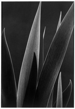 Anita Chernewski (American, born 1946). <em>Iris Leaves</em>, 1984. Gelatin silver photograph, image: 15 1/2 x 10 1/2 in. (39.4 x 26.7 cm). Brooklyn Museum, Gift of the artist, 87.200.3. © artist or artist's estate (Photo: Brooklyn Museum, 87.200.3_bw.jpg)