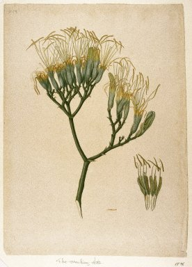 Indian. <em>Botanical Study of a Lily</em>, ca. 1800. Watercolor on laid English paper, sheet: 21 3/8 x 15 3/16 in.  (54.3 x 38.6 cm). Brooklyn Museum, Purchased with funds given by Willard G. Clark, 88.96 (Photo: Brooklyn Museum, 88.96_IMLS_SL2.jpg)