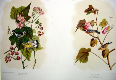 John James  Audubon (American, born Haiti, 1785-1851). <em>Black & Yellow Warbler and Bay-breasted Warbler</em>, 1861. Chromolithograph Brooklyn Museum, Gift of Seymour R. Husted Jr., 06.339.10a-b (Photo: Brooklyn Museum, CUR.06.339.10a-b.jpg)