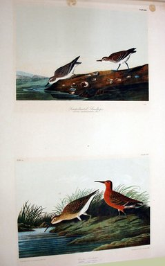 John James  Audubon (American, born Haiti, 1785-1851). <em>Semipalmated Sandpiper and Curlew Sandpiper</em>, 1861. Chromolithograph Brooklyn Museum, Gift of Seymour R. Husted Jr., 06.339.24a-b (Photo: Brooklyn Museum, CUR.06.339.24a-b.jpg)