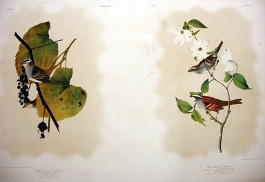 John James  Audubon (American, born Haiti, 1785-1851). <em>White-crowned Sparrow and White-throated Sparrow</em>, 1861. Chromolithograph Brooklyn Museum, Gift of Seymour R. Husted Jr., 06.339.34a-b (Photo: Brooklyn Museum, CUR.06.339.34a-b.jpg)