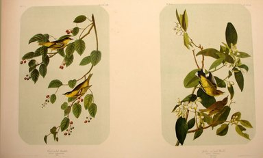 John James  Audubon (American, born Haiti, 1785-1851). <em>Carbonated Warbler and Yellow-and-Red Poll Warbler</em>, 1861. Chromolithograph Brooklyn Museum, Gift of Seymour R. Husted Jr., 06.339.79a-b (Photo: Brooklyn Museum, CUR.06.339.79a-b.jpg)