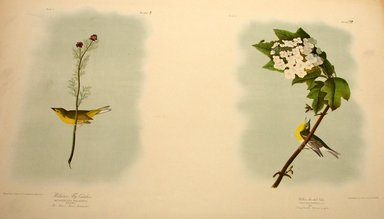John James  Audubon (American, born Haiti, 1785-1851). <em>Wilson's Flycatcher and Yellow-throated Vireo</em>, 1861. Chromolithograph Brooklyn Museum, Gift of Seymour R. Husted Jr., 06.339.81a-b (Photo: Brooklyn Museum, CUR.06.339.81a-b.jpg)