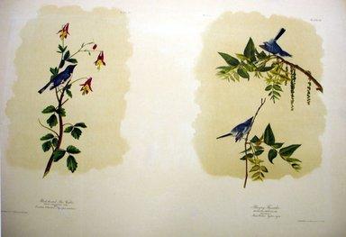 John James  Audubon (American, born Haiti, 1785-1851). <em>Black-throated Blue Warbler and Blue-Grey Flycatcher</em>, 1861. Chromolithograph Brooklyn Museum, Gift of Seymour R. Husted Jr., 06.339.83a-b (Photo: Brooklyn Museum, CUR.06.339.83a-b.jpg)