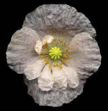 Harold Feinstein (American, 1931-2015). <em>No. 43, Poppy, Papaver Species</em>, 2000. Digital photograph (scanogram), image: 15 x 14 1/2 in. (38.1 x 36.8 cm). Brooklyn Museum, Gift of Wallace B. Putnam from the Estate of Consuelo Kanaga, by exchange, 2000.34.2. © artist or artist's estate (Photo: Image courtesy of the artist, CUR.2000.34.2_p043_Harold_Feinstein_photo.jpg)