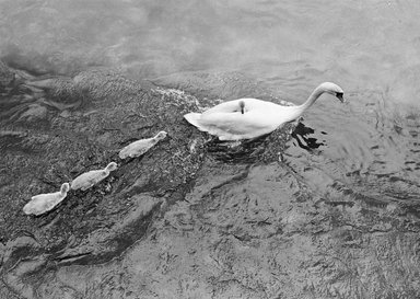 """Mark Chester (American, born 1945). <em>""""Swans"""" Switzerland</em>, 1981. Gelatin silver photograph, composition: 12 1/2 x 18 1/2 in. (31.8 x 47 cm). Brooklyn Museum, Gift of Perry Chester, 85.84.1. © artist or artist's estate (Photo: Image courtesy of Mark Chester, CUR.85.84.1_MarkChester_photograph.jpg)"""
