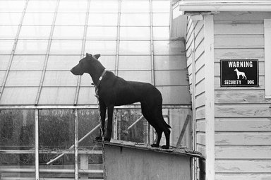 "Mark Chester (American, born 1945). <em>""Security Dog"", Pennsylvania</em>, 1982. Gelatin silver photograph, comp.: 12 1/2 x 18 1/2 in. (31.8 x 47 cm). Brooklyn Museum, Gift of Perry Chester, 85.84.2. © artist or artist's estate (Photo: Image courtesy of Mark Chester, CUR.85.84.2_MarkChester_photograph.jpg)"