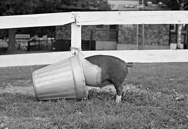 """Mark Chester (American, born 1945). <em>""""Pig in the Pail"""" New York State</em>, 1970. Gelatin silver photograph, comp.: 12 1/2 x 18 1/2 in. (31.8 x 47 cm). Brooklyn Museum, Gift in memory of Irving """"Buddy"""" Goldfarb, 85.86.2. © artist or artist's estate (Photo: Image courtesy of Mark Chester, CUR.85.86.2_MarkChester_photograph.jpg)"""
