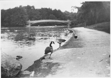 George Bradford Brainerd (American, 1845-1887). <em>Geese, Central Park</em>, July 1885, printed 1940s. Gelatin silver photograph, 11 x 14 in. (27.9 x 35.6 cm). Brooklyn Museum, Brooklyn Museum Collection, X894.138 (Photo: Brooklyn Museum, X894.138_bw.jpg)