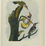 Golden-winged Woodpecker