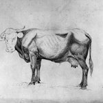 Cow - A Study