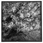 Windy Willows, Blooming Branches (Cherry Blossoms, Thuro. Mass.)