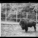 Buffalo (Mike), Prospect Park, Brooklyn