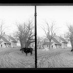 Mrs. Ditmass Cow, Kings Highway at Kouwenhoven Lane, Flatlands, Brooklyn